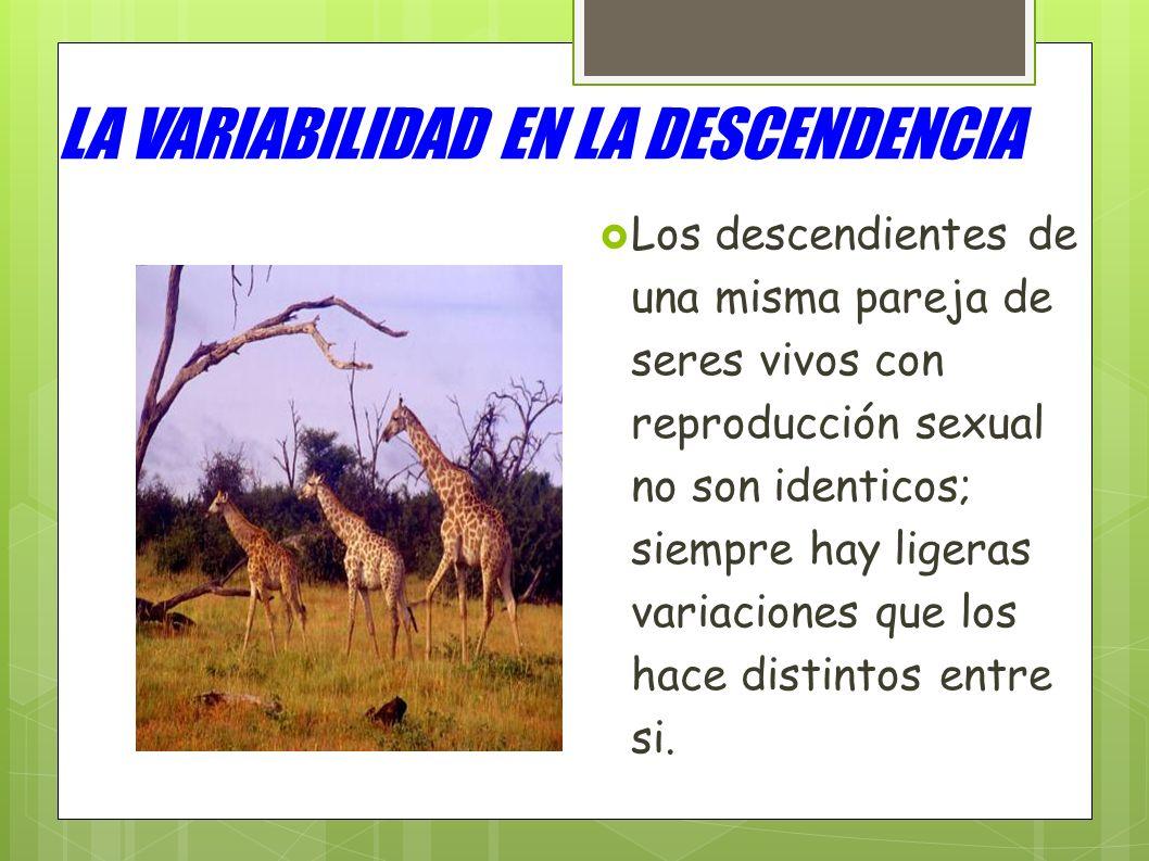 LA VARIABILIDAD EN LA DESCENDENCIA Los descendientes de una misma pareja de seres vivos con reproducción sexual no son identicos; siempre hay ligeras