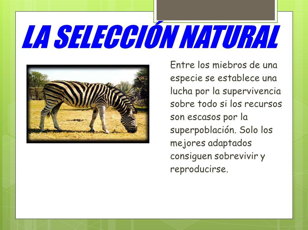 LA SELECCIÓN NATURAL Entre los miebros de una especie se establece una lucha por la supervivencia sobre todo si los recursos son escasos por la superp