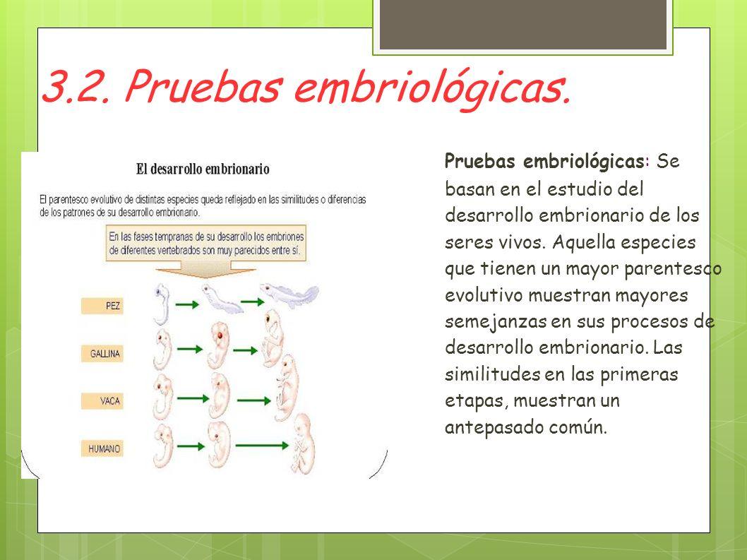 3.2. Pruebas embriológicas. Pruebas embriológicas: Se basan en el estudio del desarrollo embrionario de los seres vivos. Aquella especies que tienen u