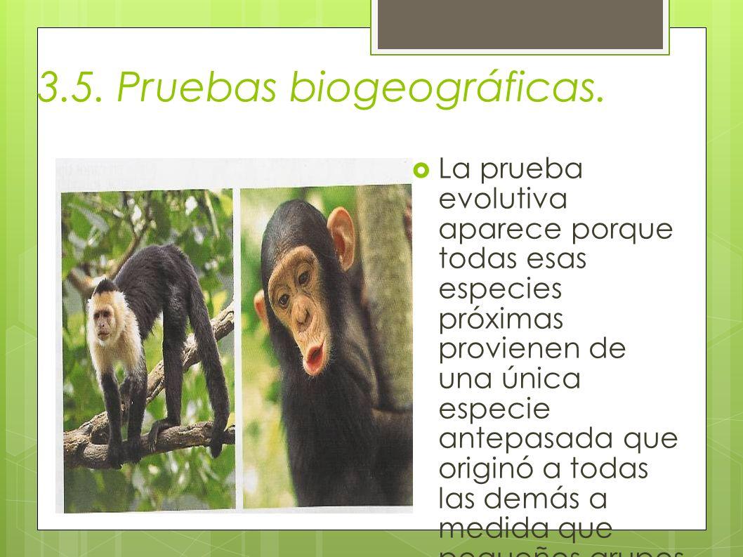 3.5. Pruebas biogeográficas. La prueba evolutiva aparece porque todas esas especies próximas provienen de una única especie antepasada que originó a t