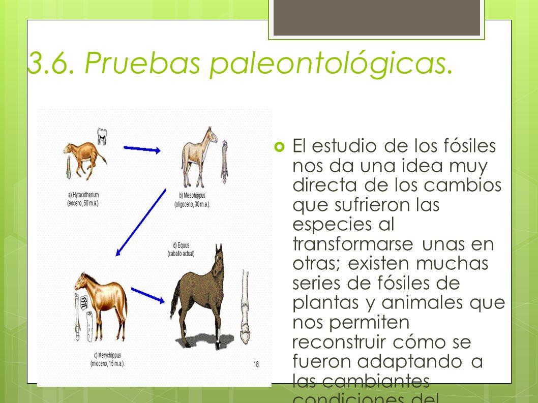 3.6. Pruebas paleontológicas. El estudio de los fósiles nos da una idea muy directa de los cambios que sufrieron las especies al transformarse unas en