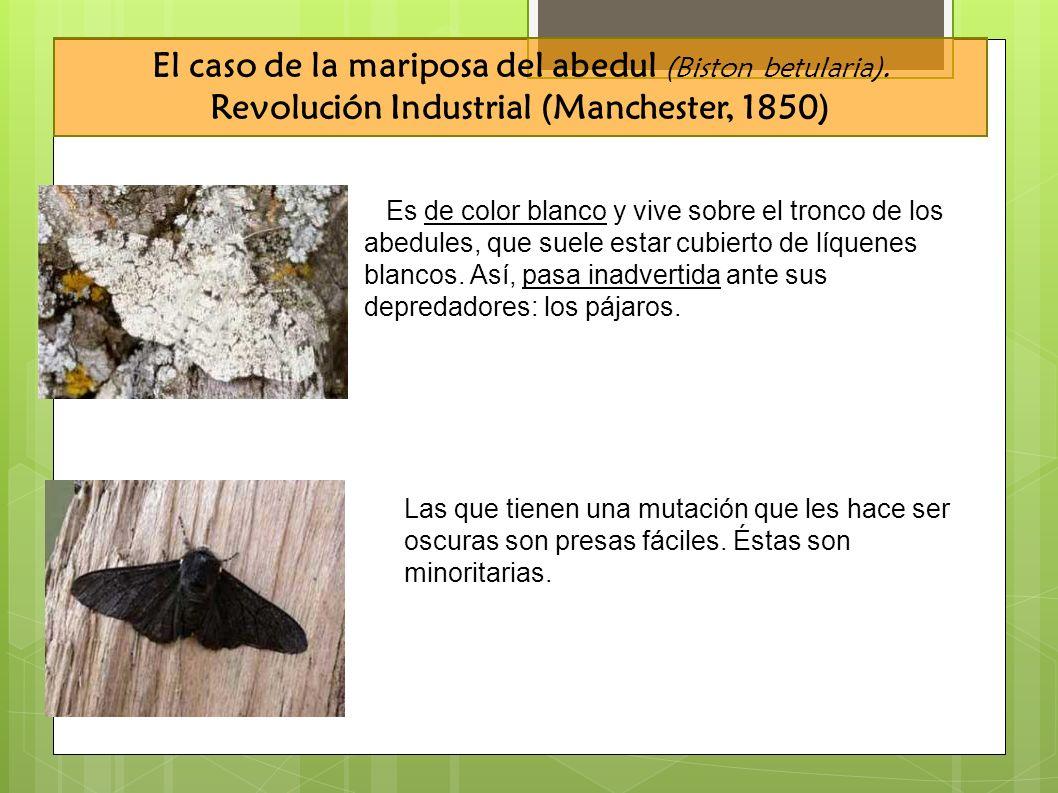 El caso de la mariposa del abedul (Biston betularia). Revolución Industrial (Manchester, 1850) Es de color blanco y vive sobre el tronco de los abedul