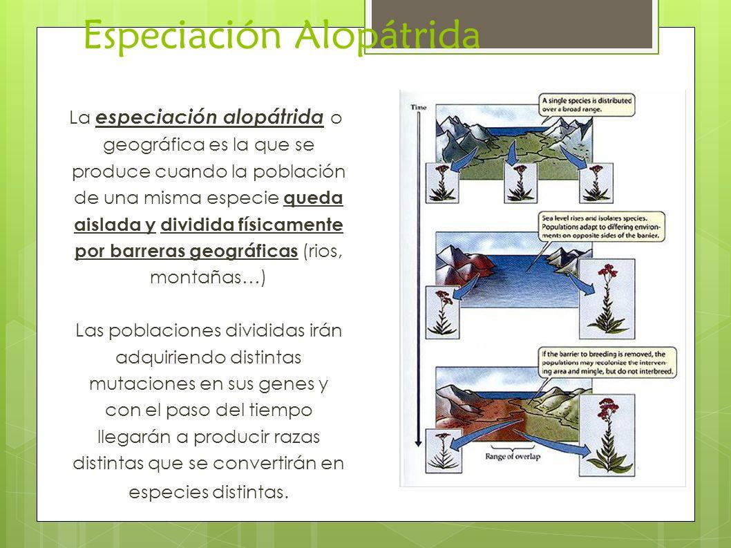 Especiación Alopátrida La especiación alopátrida o geográfica es la que se produce cuando la población de una misma especie queda aislada y dividida f