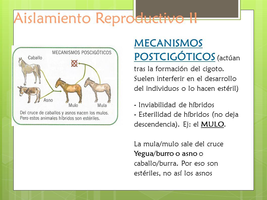 Aislamiento Reproductivo II MECANISMOS POSTCIGÓTICOS (actúan tras la formación del cigoto. Suelen interferir en el desarrollo del individuos o lo hace