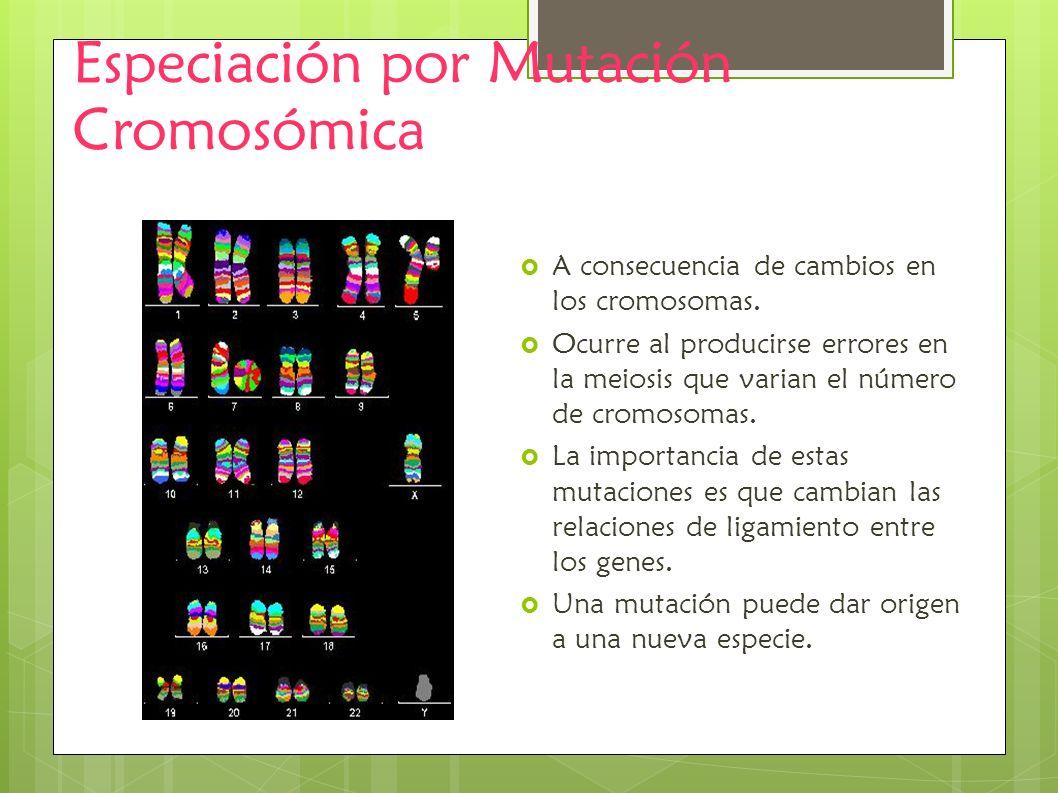 Especiación por Mutación Cromosómica A consecuencia de cambios en los cromosomas. Ocurre al producirse errores en la meiosis que varian el número de c