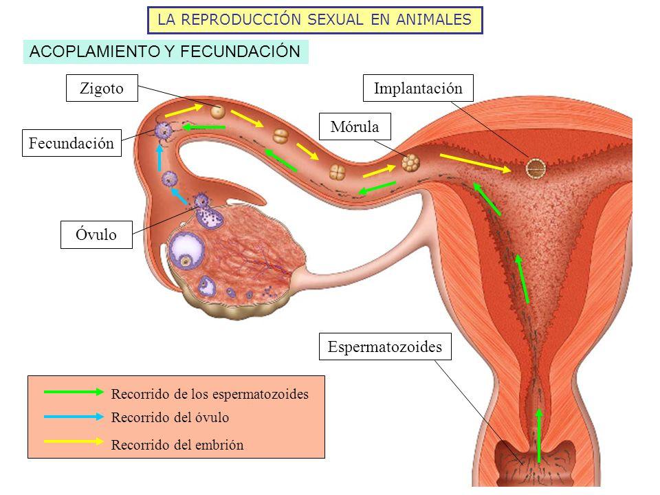 LA REPRODUCCIÓN SEXUAL EN ANIMALES ACOPLAMIENTO Y FECUNDACIÓN Recorrido de los espermatozoides Recorrido del óvulo Recorrido del embrión Mórula Zigoto
