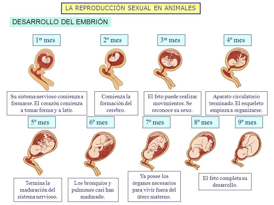 LA REPRODUCCIÓN SEXUAL EN ANIMALES DESARROLLO DEL EMBRIÓN 1 er mes3 er mes2º mes4º mes 5º mes6º mes7º mes8º mes9º mes El feto completa su desarrollo.
