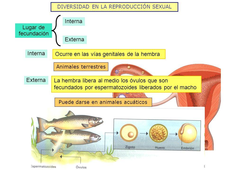 DIVERSIDAD EN LA REPRODUCCIÓN SEXUAL Lugar de fecundación Interna Externa Interna Ocurre en las vías genitales de la hembra Animales terrestres Extern