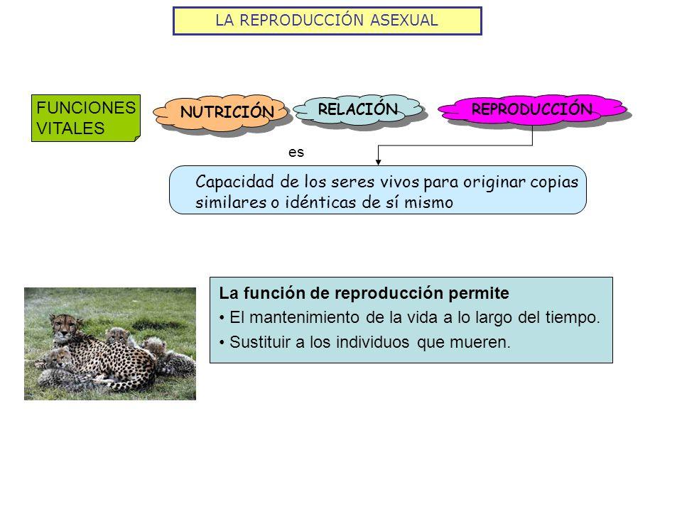 LA REPRODUCCIÓN ASEXUAL FUNCIONES VITALES NUTRICIÓN RELACIÓN REPRODUCCIÓN Capacidad de los seres vivos para originar copias similares o idénticas de s