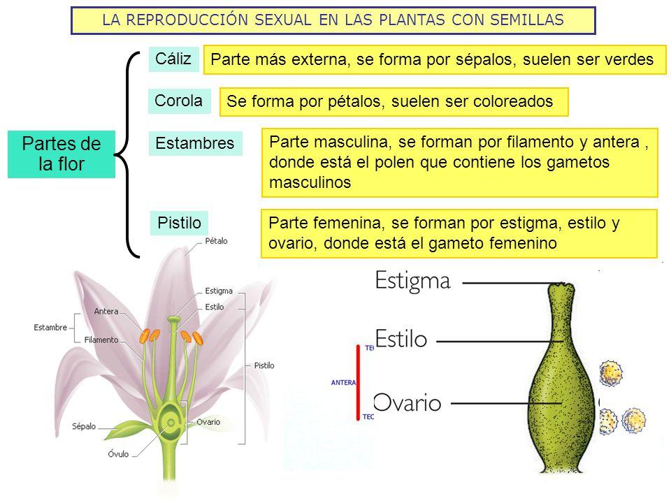 LA REPRODUCCIÓN SEXUAL EN LAS PLANTAS CON SEMILLAS Partes de la flor Cáliz Corola Estambres Parte más externa, se forma por sépalos, suelen ser verdes