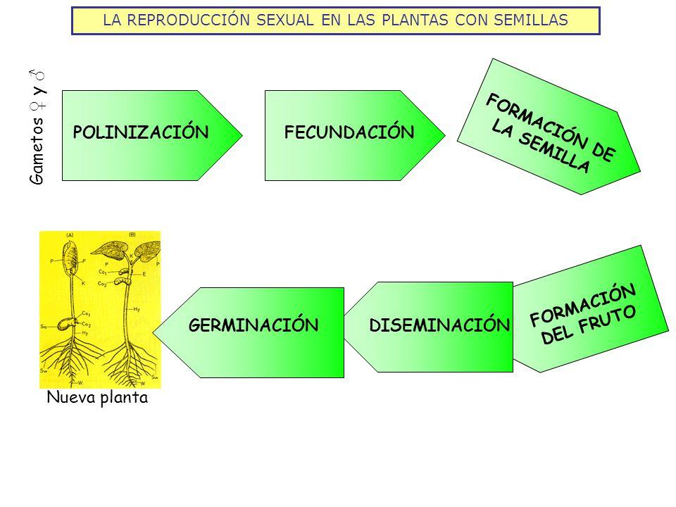 LA REPRODUCCIÓN SEXUAL EN LAS PLANTAS CON SEMILLAS POLINIZACIÓNFECUNDACIÓN FORMACIÓN DE LA SEMILLA FORMACIÓN DEL FRUTO Gametos y Nueva planta DISEMINA
