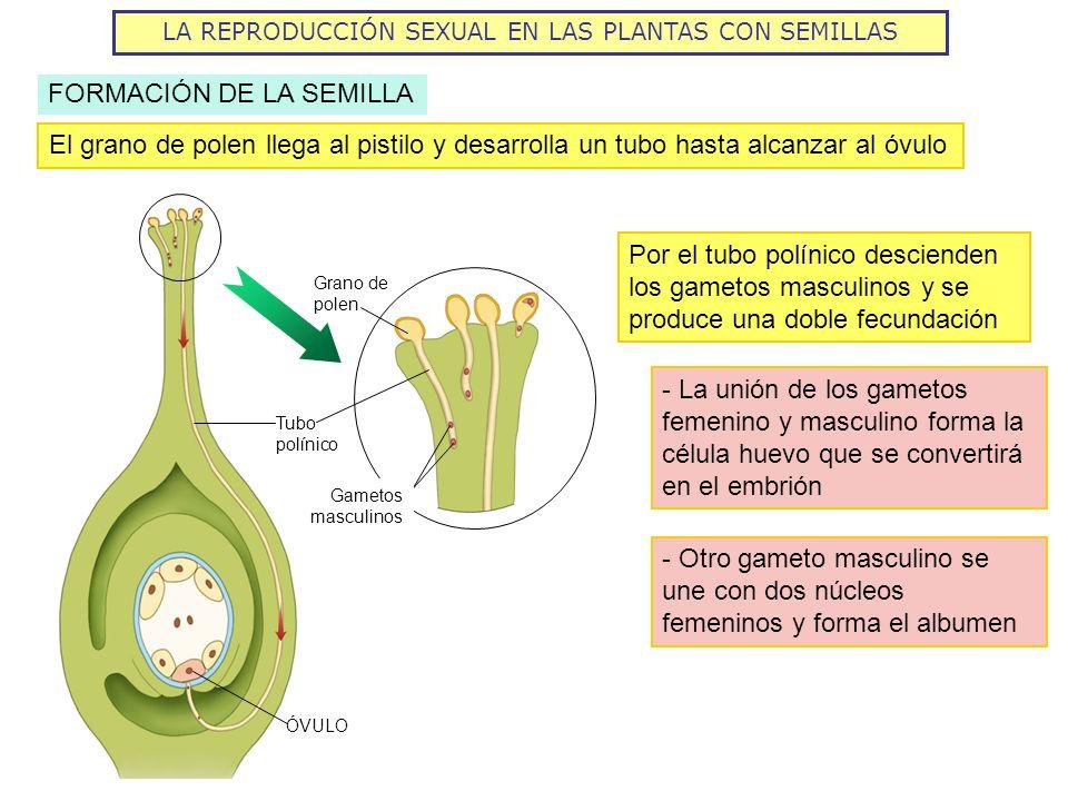 LA REPRODUCCIÓN SEXUAL EN LAS PLANTAS CON SEMILLAS FORMACIÓN DE LA SEMILLA El grano de polen llega al pistilo y desarrolla un tubo hasta alcanzar al ó