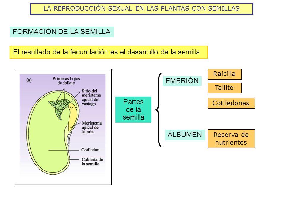 LA REPRODUCCIÓN SEXUAL EN LAS PLANTAS CON SEMILLAS FORMACIÓN DE LA SEMILLA El resultado de la fecundación es el desarrollo de la semilla Partes de la