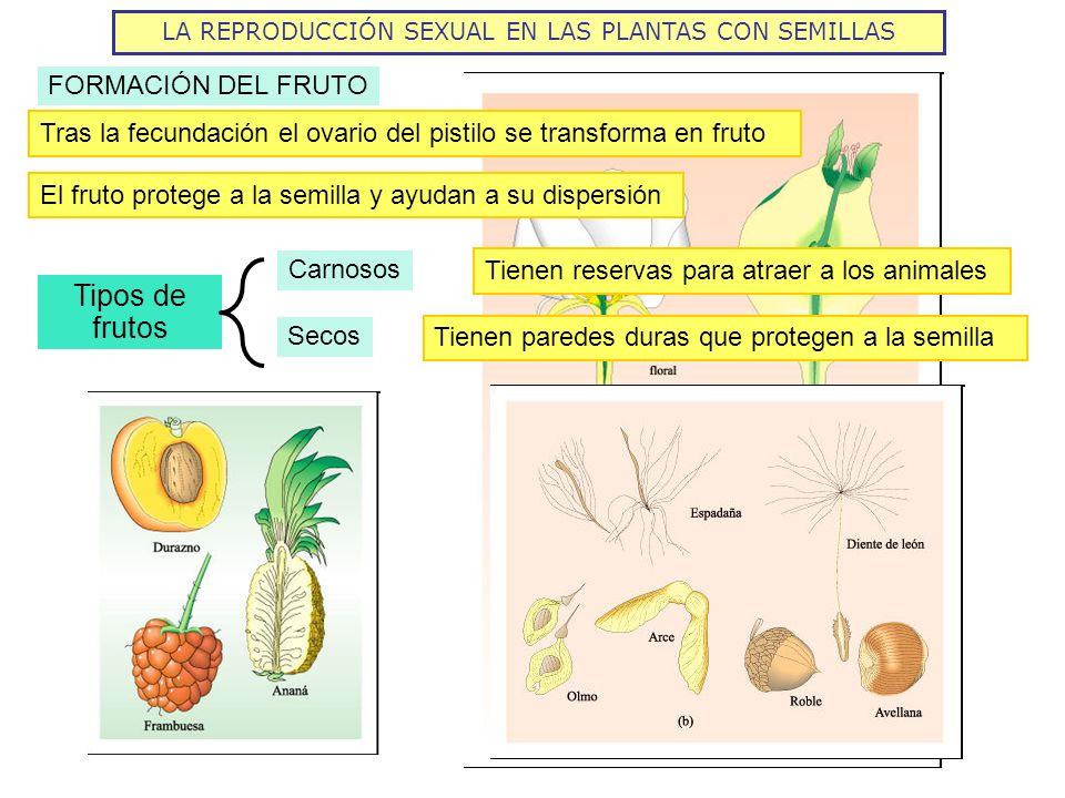 LA REPRODUCCIÓN SEXUAL EN LAS PLANTAS CON SEMILLAS FORMACIÓN DEL FRUTO Tras la fecundación el ovario del pistilo se transforma en fruto El fruto prote