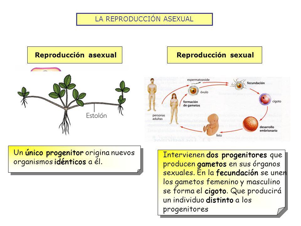 LA REPRODUCCIÓN ASEXUAL La reproducción asexual de los organismos unicelulares (bacterias, protozoos y algunas algas) BIPARTICIÓNGEMACIÓNESPORULACIÓN El núcleo se divide en dos y después la célula se divide en dos del mismo tamaño El núcleo se divide en dos, uno se desplaza hasta la membrana y forma una yema que se separa.