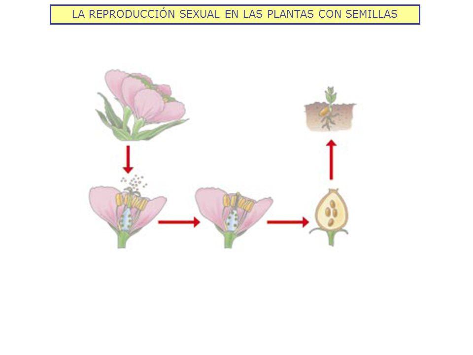 LA REPRODUCCIÓN SEXUAL EN LAS PLANTAS CON SEMILLAS