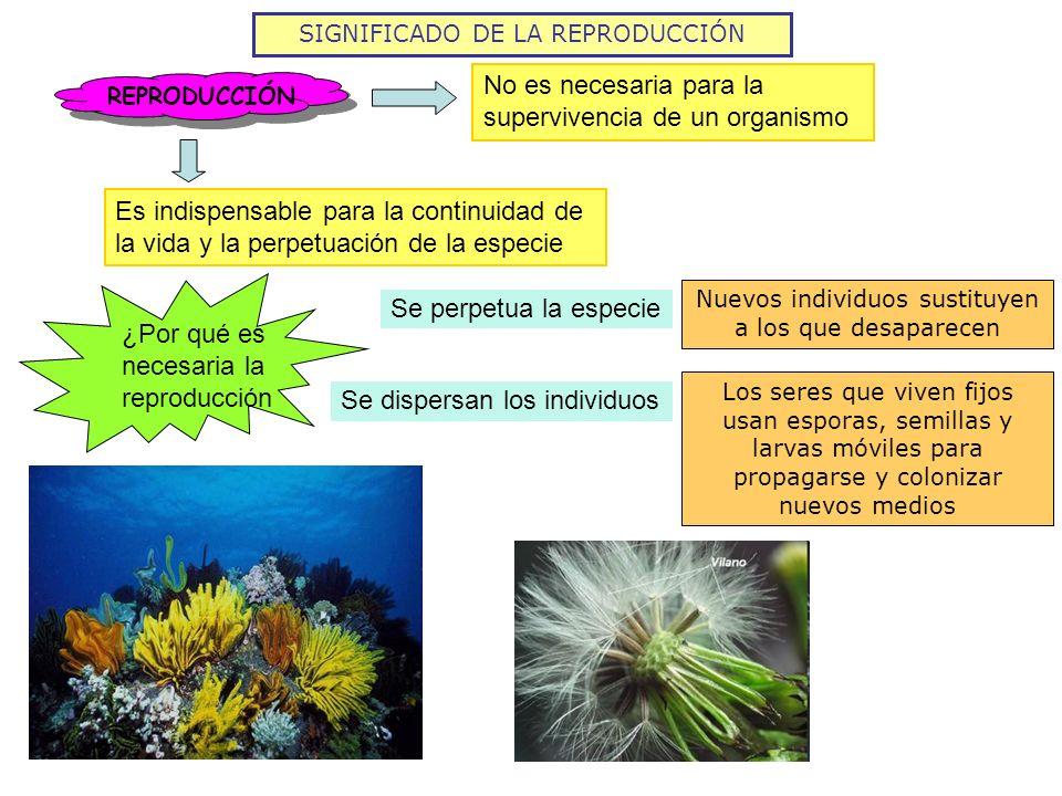SIGNIFICADO DE LA REPRODUCCIÓN REPRODUCCIÓN No es necesaria para la supervivencia de un organismo Es indispensable para la continuidad de la vida y la