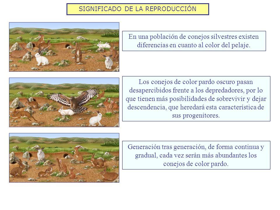 SIGNIFICADO DE LA REPRODUCCIÓN En una población de conejos silvestres existen diferencias en cuanto al color del pelaje. Los conejos de color pardo os