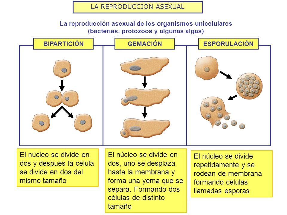 LA REPRODUCCIÓN ASEXUAL La reproducción asexual de los organismos unicelulares (bacterias, protozoos y algunas algas) BIPARTICIÓNGEMACIÓNESPORULACIÓN