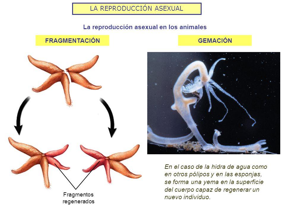 LA REPRODUCCIÓN ASEXUAL La reproducción asexual en los animales En el caso de la hidra de agua como en otros pólipos y en las esponjas, se forma una y