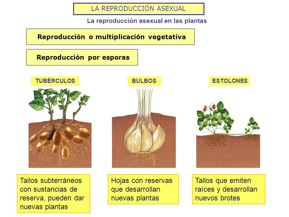 LA REPRODUCCIÓN ASEXUAL La reproducción asexual en las plantas TUBÉRCULOSBULBOSESTOLONES Reproducción o multiplicación vegetativaReproducción por espo