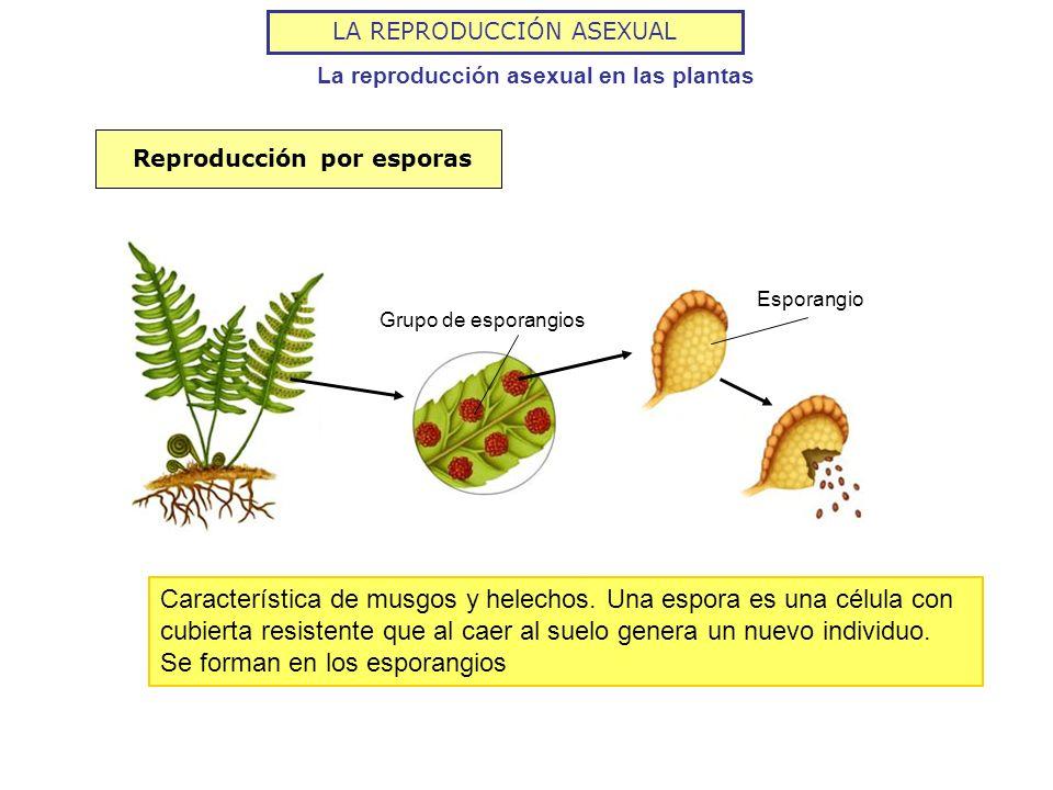 LA REPRODUCCIÓN ASEXUAL La reproducción asexual en las plantas Grupo de esporangios Esporangio Reproducción por esporas Característica de musgos y hel