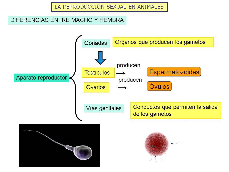 LA REPRODUCCIÓN SEXUAL EN ANIMALES DIFERENCIAS ENTRE MACHO Y HEMBRA Aparato reproductor Gónadas Órganos que producen los gametos Testículos producen O