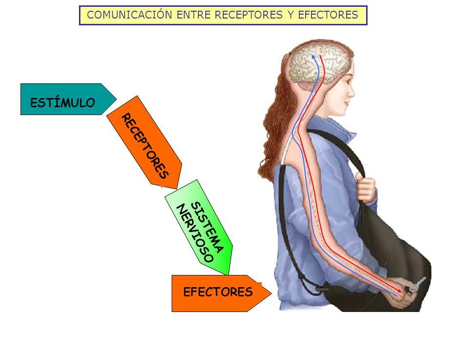COMUNICACIÓN ENTRE RECEPTORES Y EFECTORES ESTÍMULO RECEPTORES SISTEMA NERVIOSO EFECTORES