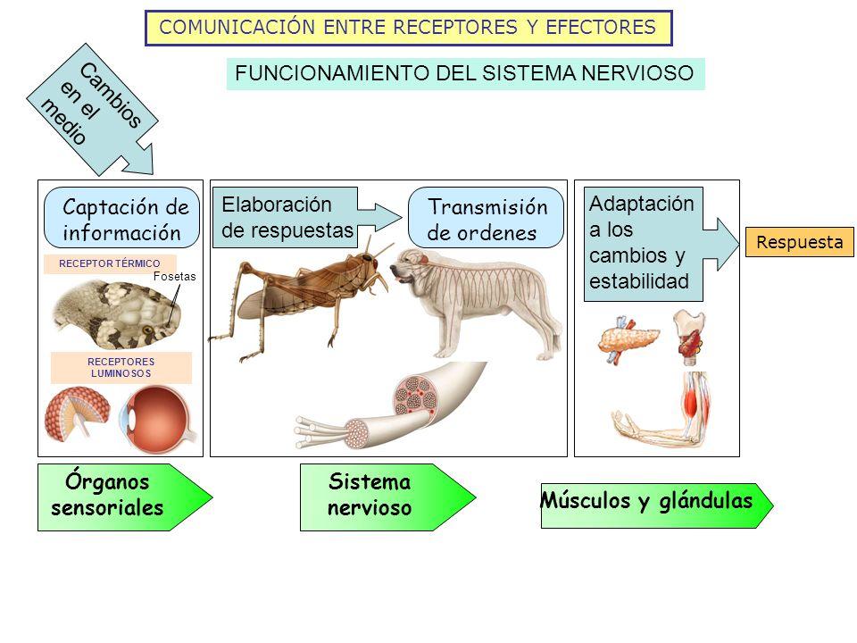 COMUNICACIÓN ENTRE RECEPTORES Y EFECTORES FUNCIONAMIENTO DEL SISTEMA NERVIOSO Cambios en el medio Órganos sensoriales Elaboración de respuestas Transm