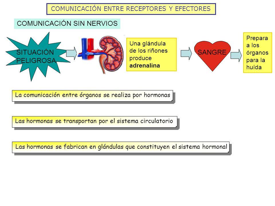 COMUNICACIÓN ENTRE RECEPTORES Y EFECTORES COMUNICACIÓN SIN NERVIOS SITUACIÓN PELIGROSA Una glándula de los riñones produce adrenalina SANGRE Prepara a