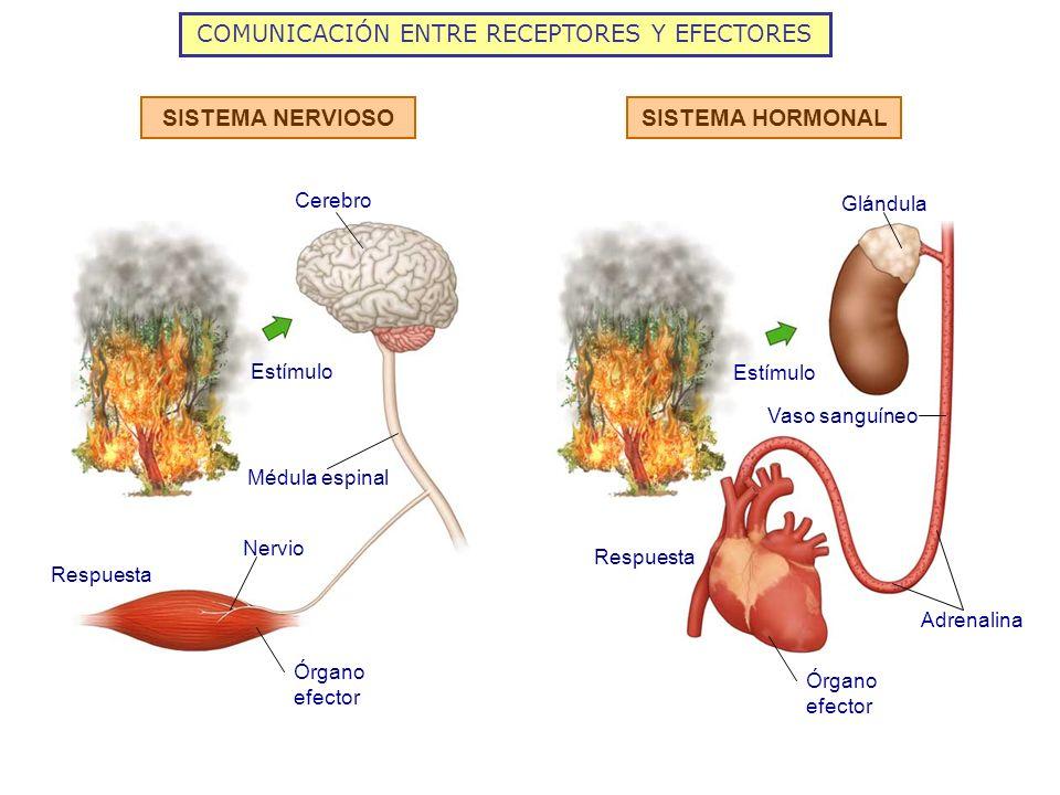 COMUNICACIÓN ENTRE RECEPTORES Y EFECTORES SISTEMA NERVIOSOSISTEMA HORMONAL Respuesta Estímulo Glándula Cerebro Adrenalina Nervio Vaso sanguíneo Médula