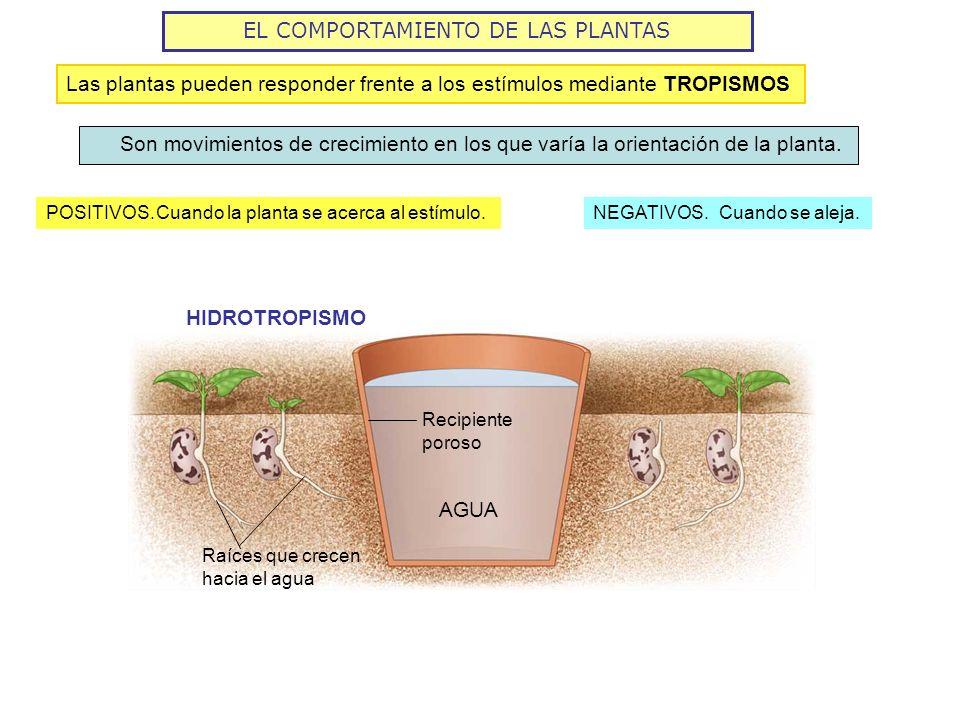EL COMPORTAMIENTO DE LAS PLANTAS POSITIVOS. Son movimientos de crecimiento en los que varía la orientación de la planta. Cuando la planta se acerca al