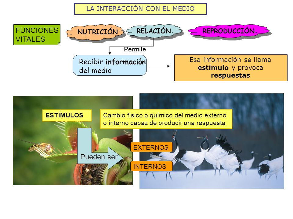 LA INTERACCIÓN CON EL MEDIO FUNCIONES VITALES NUTRICIÓN RELACIÓN REPRODUCCIÓN Recibir información del medio Permite Esa información se llama estímulo