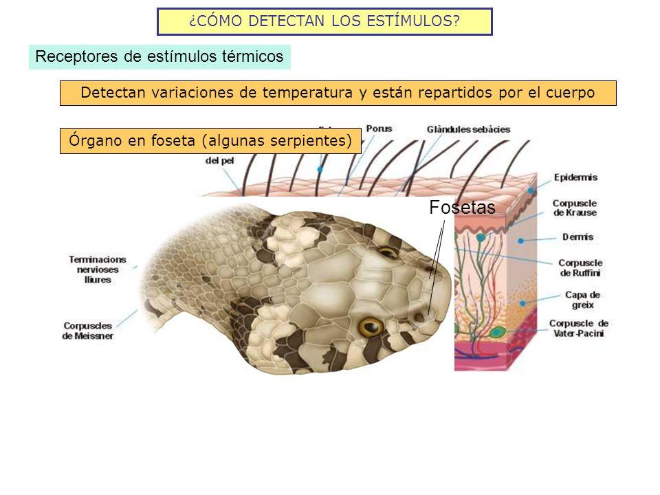 ¿CÓMO DETECTAN LOS ESTÍMULOS? Receptores de estímulos térmicos Detectan variaciones de temperatura y están repartidos por el cuerpo Órgano en foseta (