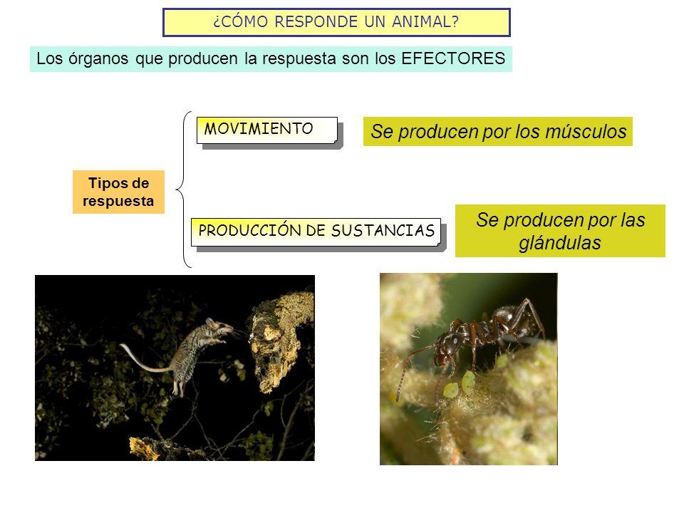 ¿CÓMO RESPONDE UN ANIMAL? Los órganos que producen la respuesta son los EFECTORES MOVIMIENTO PRODUCCIÓN DE SUSTANCIAS Tipos de respuesta Se producen p