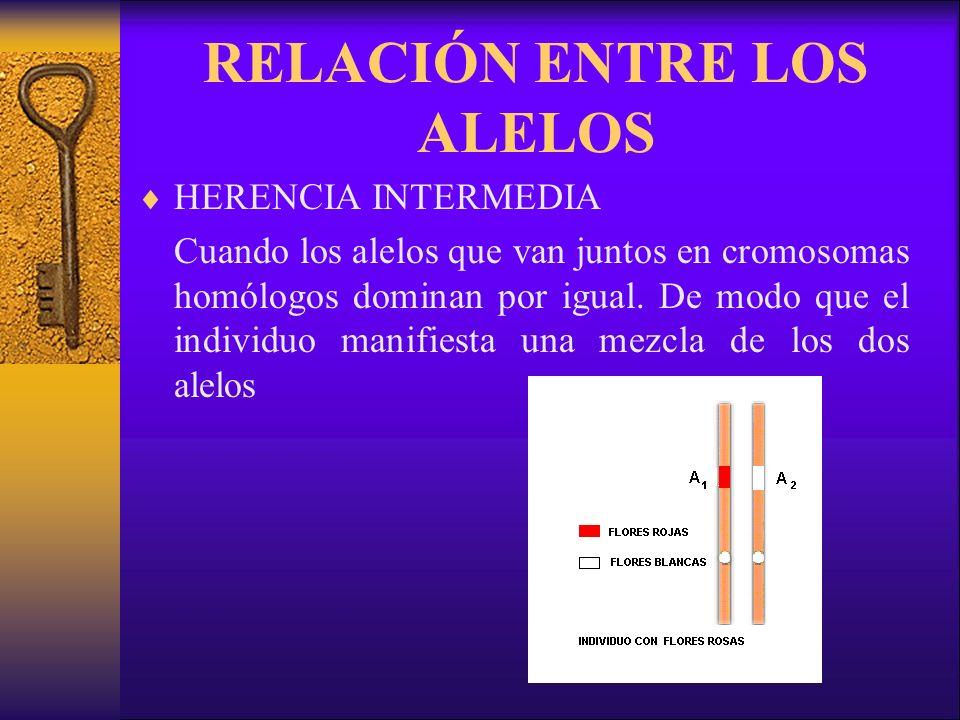 RELACIÓN ENTRE LOS ALELOS HERENCIA INTERMEDIA Cuando los alelos que van juntos en cromosomas homólogos dominan por igual.