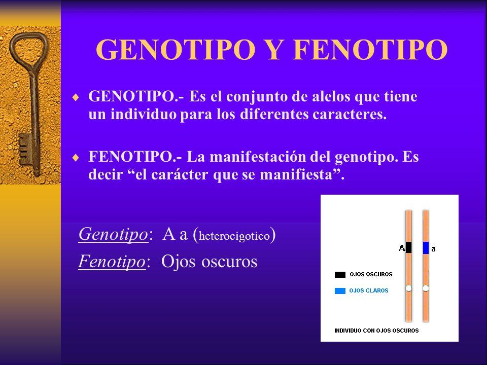 GENOTIPO Y FENOTIPO GENOTIPO.- Es el conjunto de alelos que tiene un individuo para los diferentes caracteres.