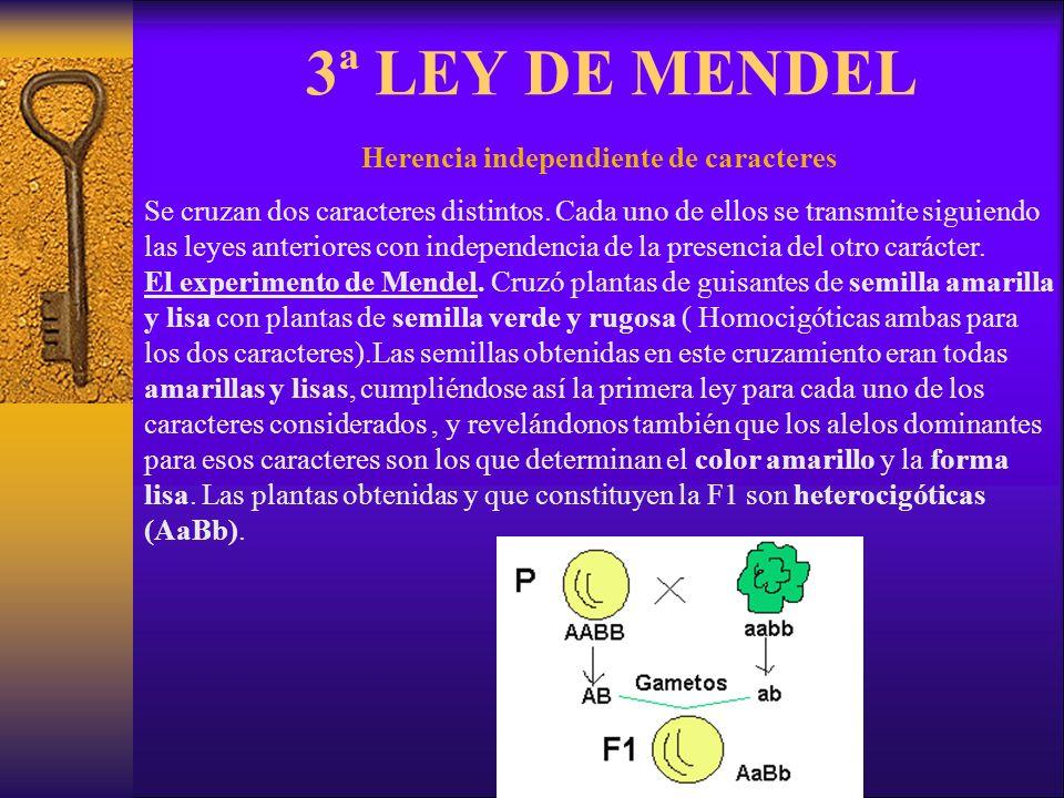 3ª LEY DE MENDEL Herencia independiente de caracteres Se cruzan dos caracteres distintos.
