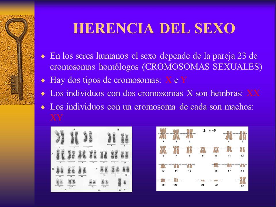 HERENCIA DEL SEXO En los seres humanos el sexo depende de la pareja 23 de cromosomas homólogos (CROMOSOMAS SEXUALES) Hay dos tipos de cromosomas: X e Y Los individuos con dos cromosomas X son hembras: XX Los individuos con un cromosoma de cada son machos: XY