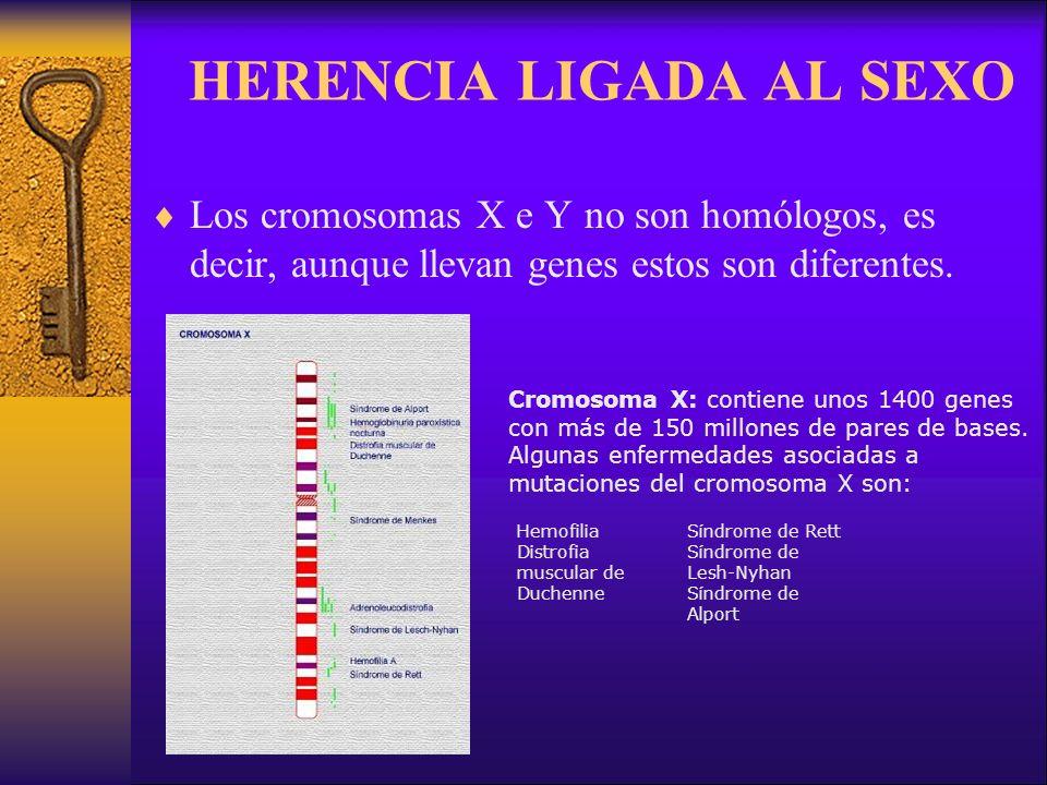 HERENCIA LIGADA AL SEXO Los cromosomas X e Y no son homólogos, es decir, aunque llevan genes estos son diferentes.