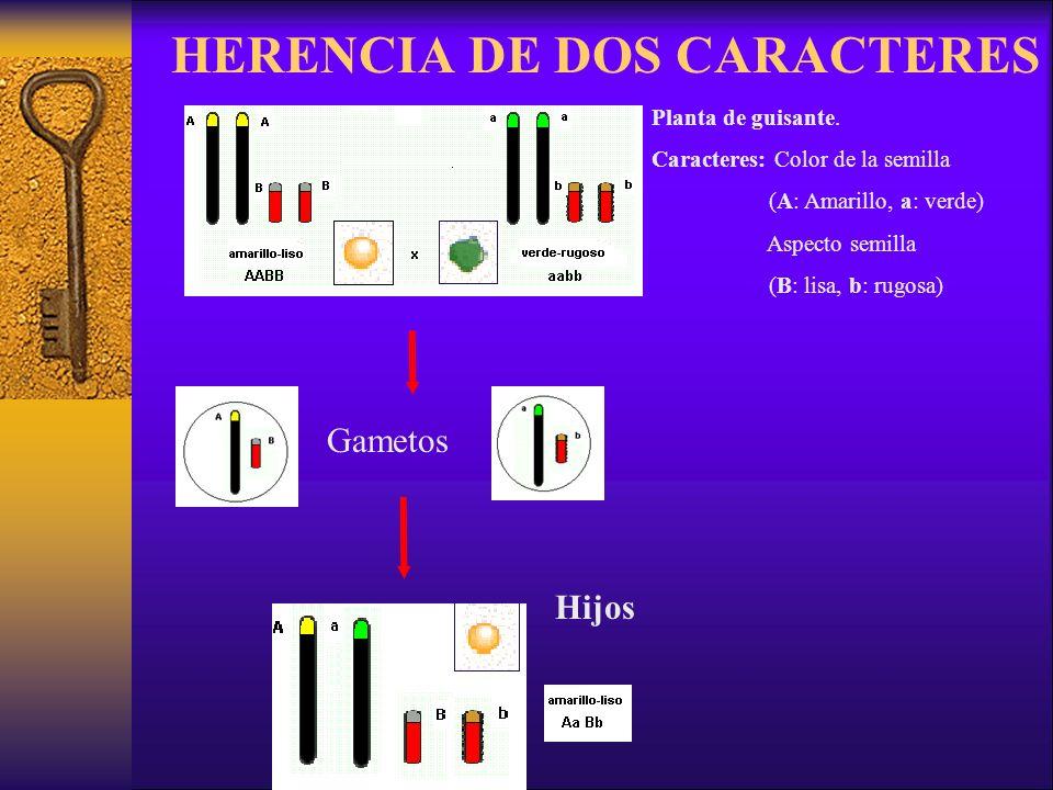 HERENCIA DE DOS CARACTERES Gametos Hijos Planta de guisante.