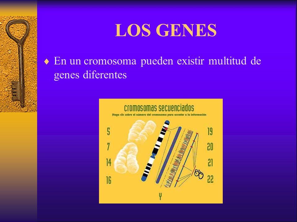 LOS GENES En un cromosoma pueden existir multitud de genes diferentes