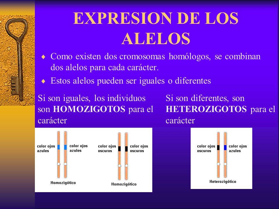 EXPRESION DE LOS ALELOS Como existen dos cromosomas homólogos, se combinan dos alelos para cada carácter.