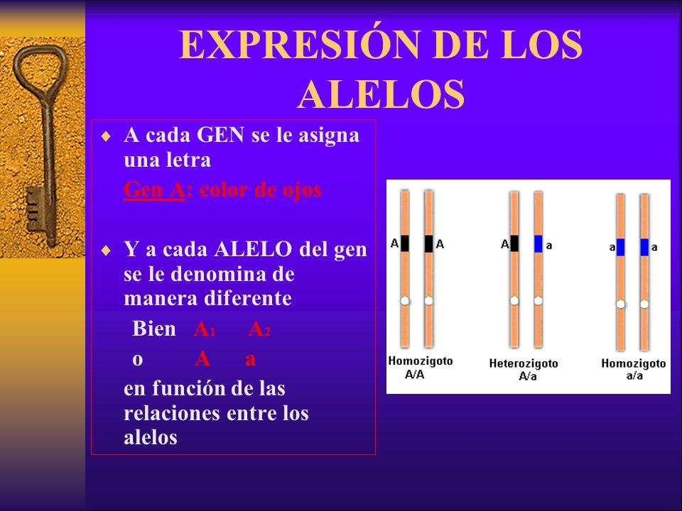 EXPRESIÓN DE LOS ALELOS A cada GEN se le asigna una letra Gen A: color de ojos Y a cada ALELO del gen se le denomina de manera diferente Bien A 1 A 2 o A a en función de las relaciones entre los alelos