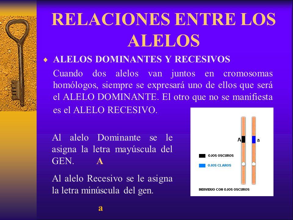 RELACIONES ENTRE LOS ALELOS ALELOS DOMINANTES Y RECESIVOS Cuando dos alelos van juntos en cromosomas homólogos, siempre se expresará uno de ellos que será el ALELO DOMINANTE.