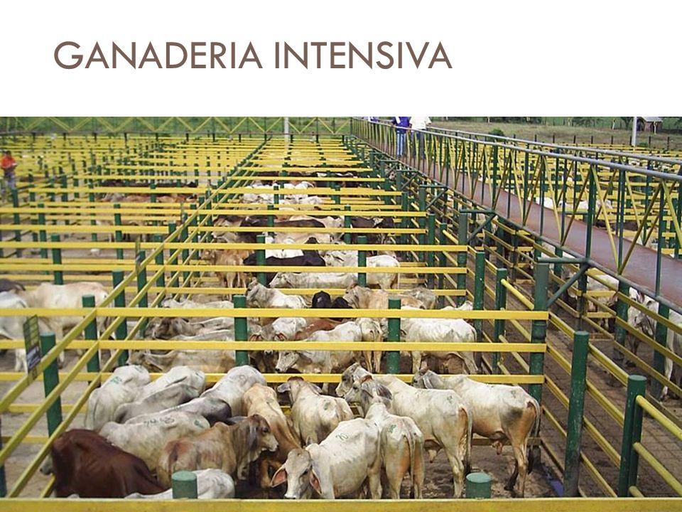 GANADERIA INTENSIVA Produce grandes cantidades de un solo tipo de producto animal o cárnico Utilizan cercados y establos para criar gran número de ani