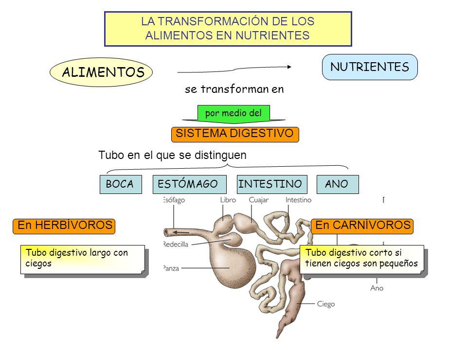 LA TRANSFORMACIÓN DE LOS ALIMENTOS EN NUTRIENTES ALIMENTOS NUTRIENTES se transforman en por medio del SISTEMA DIGESTIVO BOCA Tubo en el que se disting