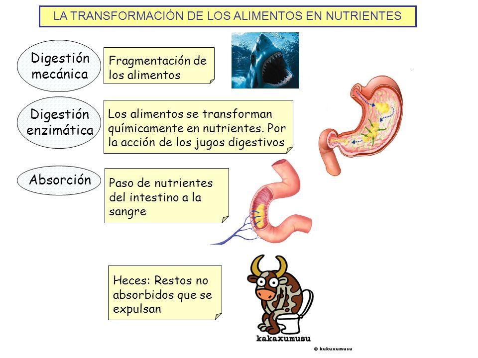 LA TRANSFORMACIÓN DE LOS ALIMENTOS EN NUTRIENTES Digestión mecánica Fragmentación de los alimentos Digestión enzimática Los alimentos se transforman q