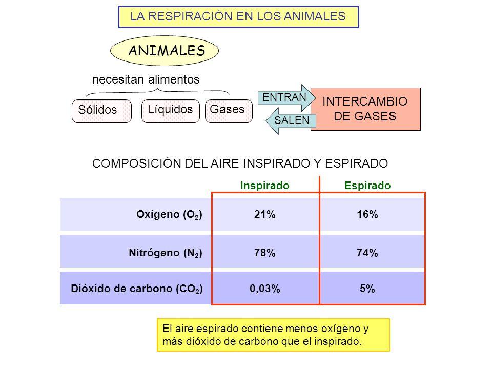 LA RESPIRACIÓN EN LOS ANIMALES ANIMALES Sólidos LíquidosGases necesitan alimentos INTERCAMBIO DE GASES ENTRANSALEN 21%16% 78%74% 0,03%5% InspiradoEspi