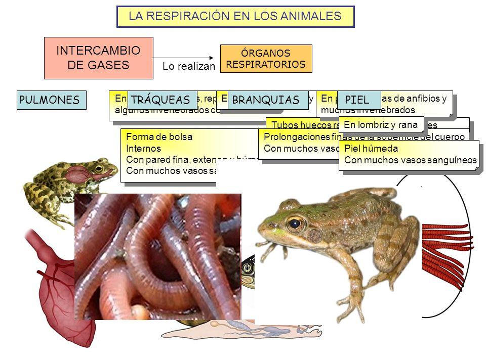 LA RESPIRACIÓN EN LOS ANIMALES INTERCAMBIO DE GASES ÓRGANOS RESPIRATORIOS Lo realizan PULMONES En mamíferos, aves, reptiles, anfibios adultos y alguno